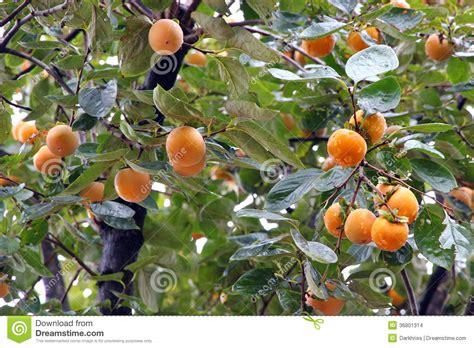 Keset Kaki Printing Fruits Berkualitas japanese persimmon tree kaki stock photo image 36801314