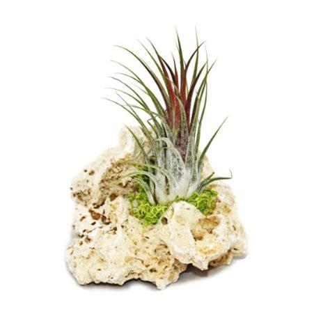 garten pflanzen shop tillandsien auf sansibar rock s 1 pflanze