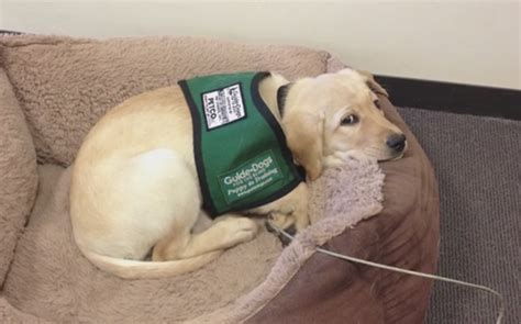 guide puppy raising puppies on loan volunteering to raise guide dogs orvis news