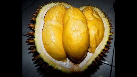 misteri dahsyat hutan durian brongkol terbesar makan