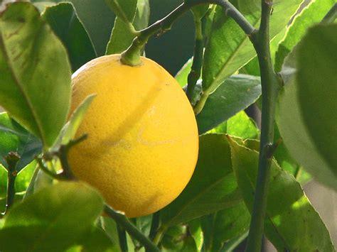 Propagate your own Meyer Lemon Tree