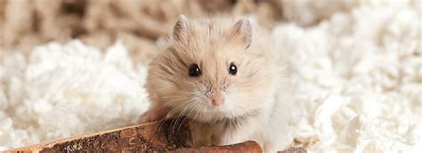does petsmart sell dogs small pets for sale hamsters gerbils mice more petsmart