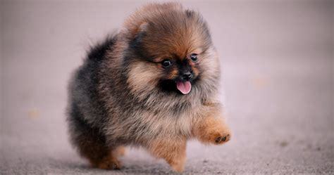 pomeranian pop out 16 of the cutest pomeranians on instagram