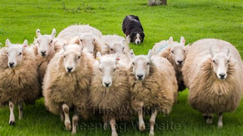 how to a herding how to herding dogs breeds picture