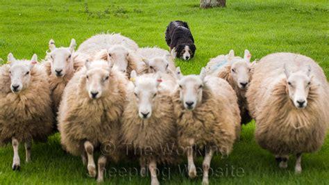 sheep herding dogs herding