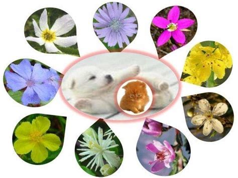 imagenes flores bach americatocopilla vi flores de bach los 7 grupos de flores