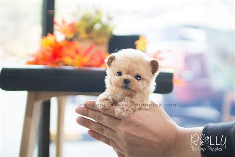 buttercup puppies buttercup poodle f rolly teacup puppies
