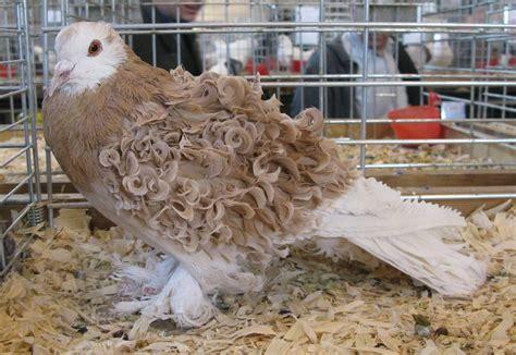 18 most bizarre pigeon breeds   MNN   Mother Nature Network