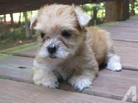 yorkie ton temperament yorkie ton terrier x coton de tulear info puppies pictures