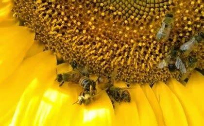 lade insetticida passaparola adesso i girasoli mutanti e le api