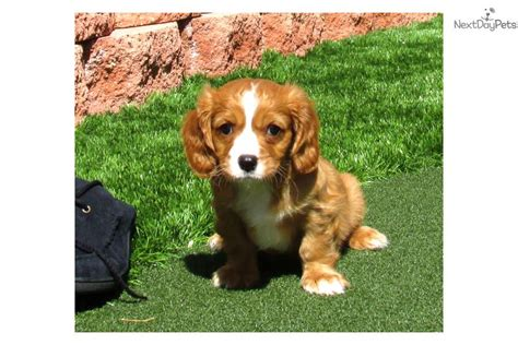 cavapoo puppies california cavapoo puppy for sale near san diego california 1a7b1a37 37a1