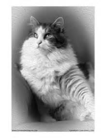 grayscale coloring siberian cat grayscale coloring page