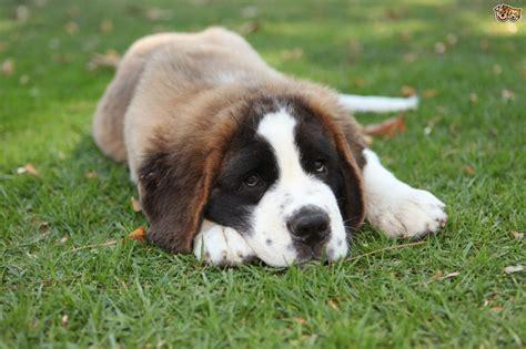 bernard puppies all about the st bernard pets4homes