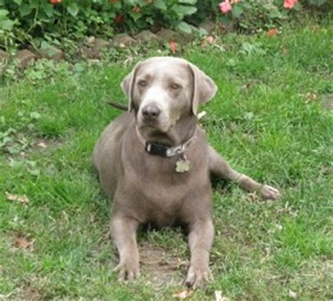 chocolate lab puppies for sale in ky silver lab pups for sale in ky