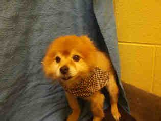 pomeranian rescue md view ad pomeranian for adoption maryland forestville usa