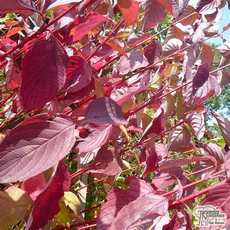 buy cornus alba sibirica red barked dogwood   uk
