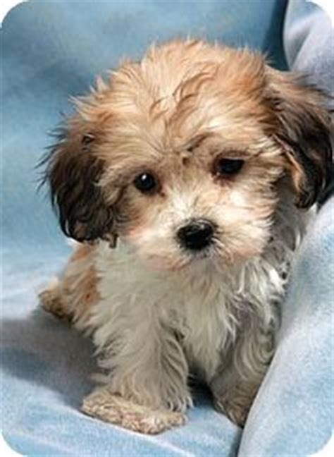 half shih tzu and half bichon frise bichon frise shih tzu mix puppy for sale in st louis missouri seth tzu