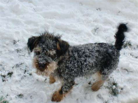 yorkie rescue vancouver animal advocates bc the rescue of puppy quot quot