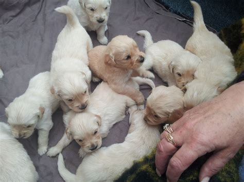 golden retriever puppies for sale colorado adorable golden retriever puppy for sale fakenham norfolk pets4homes
