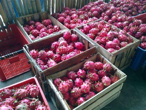 Bibit Buah Naga Banyuwangi jual bibit buah naga banyuwangi murah 087784795307
