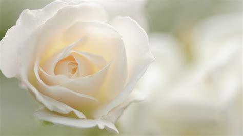 wallpaper flower white rose love white rose wallpaper 6 high resolution wallpaper