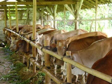 As Tahu Untuk Pakan Ternak Sapi beternak sapi potong