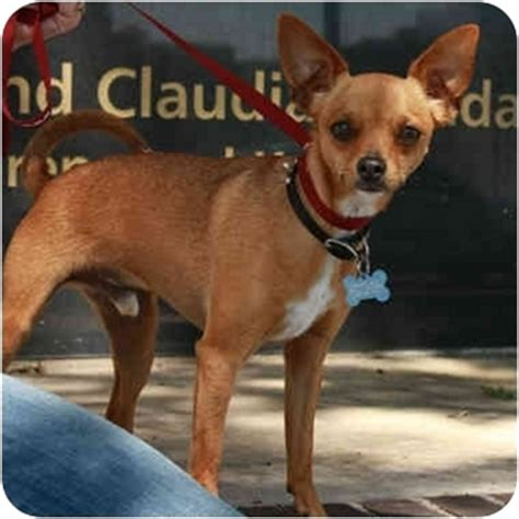 pinscher pomeranian mix dibbs adopted denver co miniature pinscher pomeranian mix