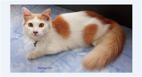 inilah 5 jenis ras kucing peliharaan ragam info