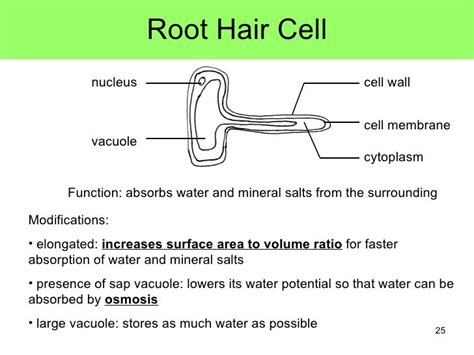 plant root hair cell google search charlottes homework
