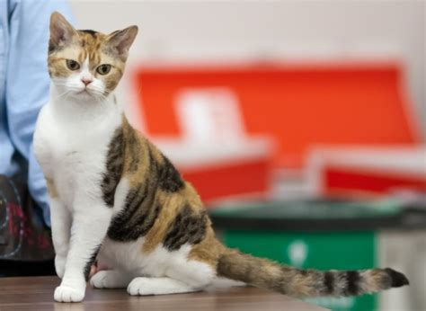 american wirehair cat breeders american wirehair cat breeders in the united states available kittenssiggy s paradise