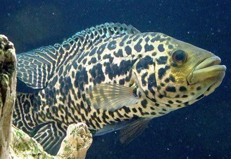 Jaguar Menaguense Cichlid managuense cichlid parachromis managuense tropical fish keeping