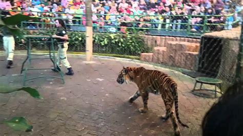 Taman Safari Cisarua tiger show at taman safari cisarua bogor indonesia