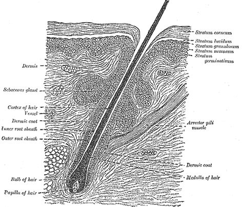 cross section of hair follicle human facial hair bruce on shaving