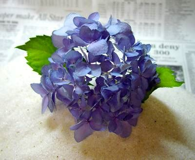 Hortensien Trocknen Haarspray by Drying Hydrangeas With Silica Gel Plant Addicts