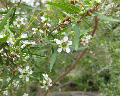 lemon scented tea tree leptospermum petersonii