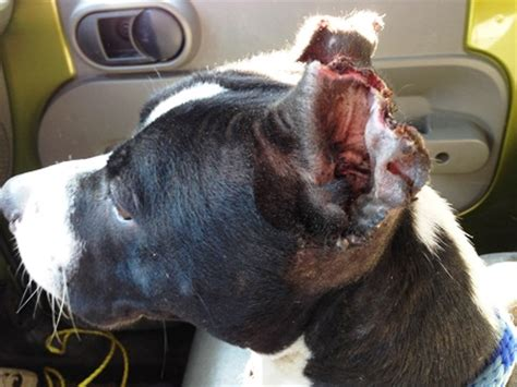 puppy ear cropping stray rescue of st louis mutilated and now safe jasla s plight