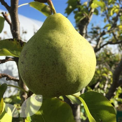 miniature fruit trees for sale pear garden pearl fruit trees for sale