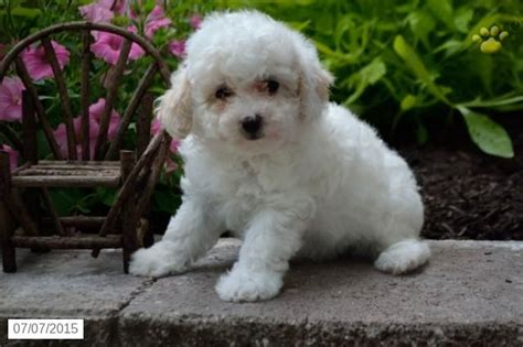 puppies for sale ohio poodles mini puppy for sale in ohio