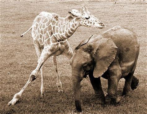 imágenes de jirafas y elefantes jirafa y elefante los mejores amigos animales en video