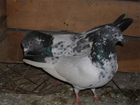 1000 ideas about pigeons for sale on homing