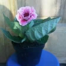 Tanaman Bunga Hias Gloxinia Pink by Tanaman Aglaonema Bibitbunga
