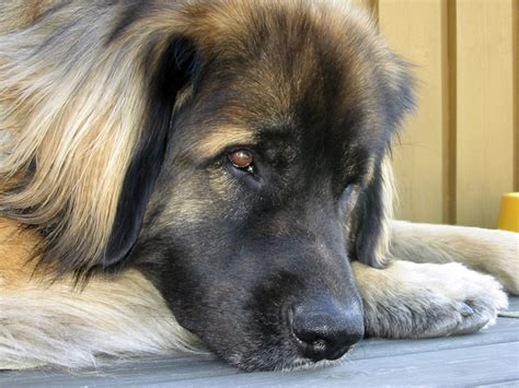 leonberger puppies for adoption rescue adopt leonberger related keywords rescue adopt leonberger keywords