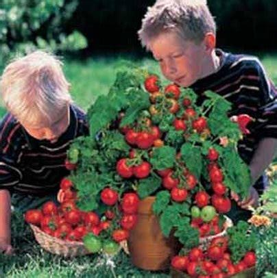 Paket Hemat Benih Bibit Tomat Unik Manis Unik Langka Tomato Seed benih tomato minibel jual bibit bunga