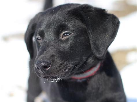 black lab mix puppies sally black labrador retriever mix puppy