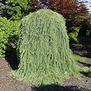 dwarf weeping trees zone 7 images pictures becuo