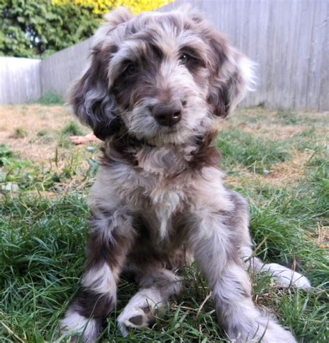 mini aussiedoodle puppies aussiedoodle puppies pictures to pin on pinsdaddy