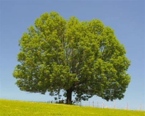 vendita alberi da giardino alberi vendita alberi latifolie la vendita degli alberi