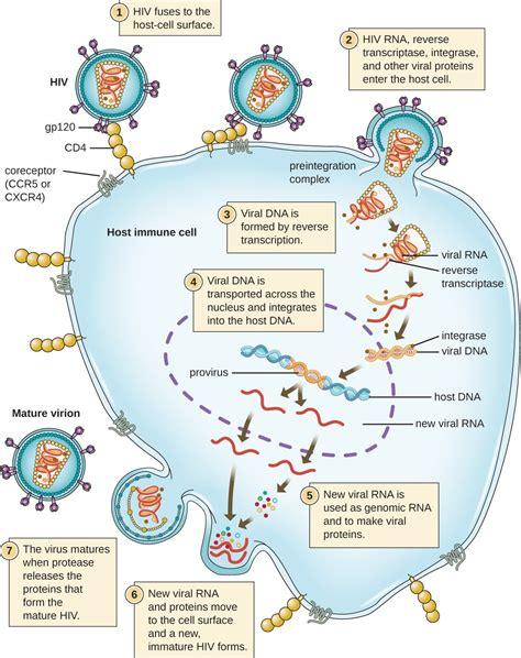 Hiv Cycle Diagram