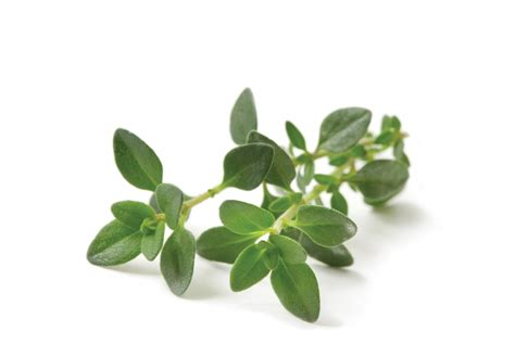 Thyme Herbs thyme gourmet garden