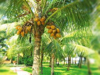Bibit Kelapa Sawit Hibrida panduan dasar budidaya kelapa hibrida kelapa sawit